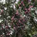 桜咲きメジロが来たよ遊んでる